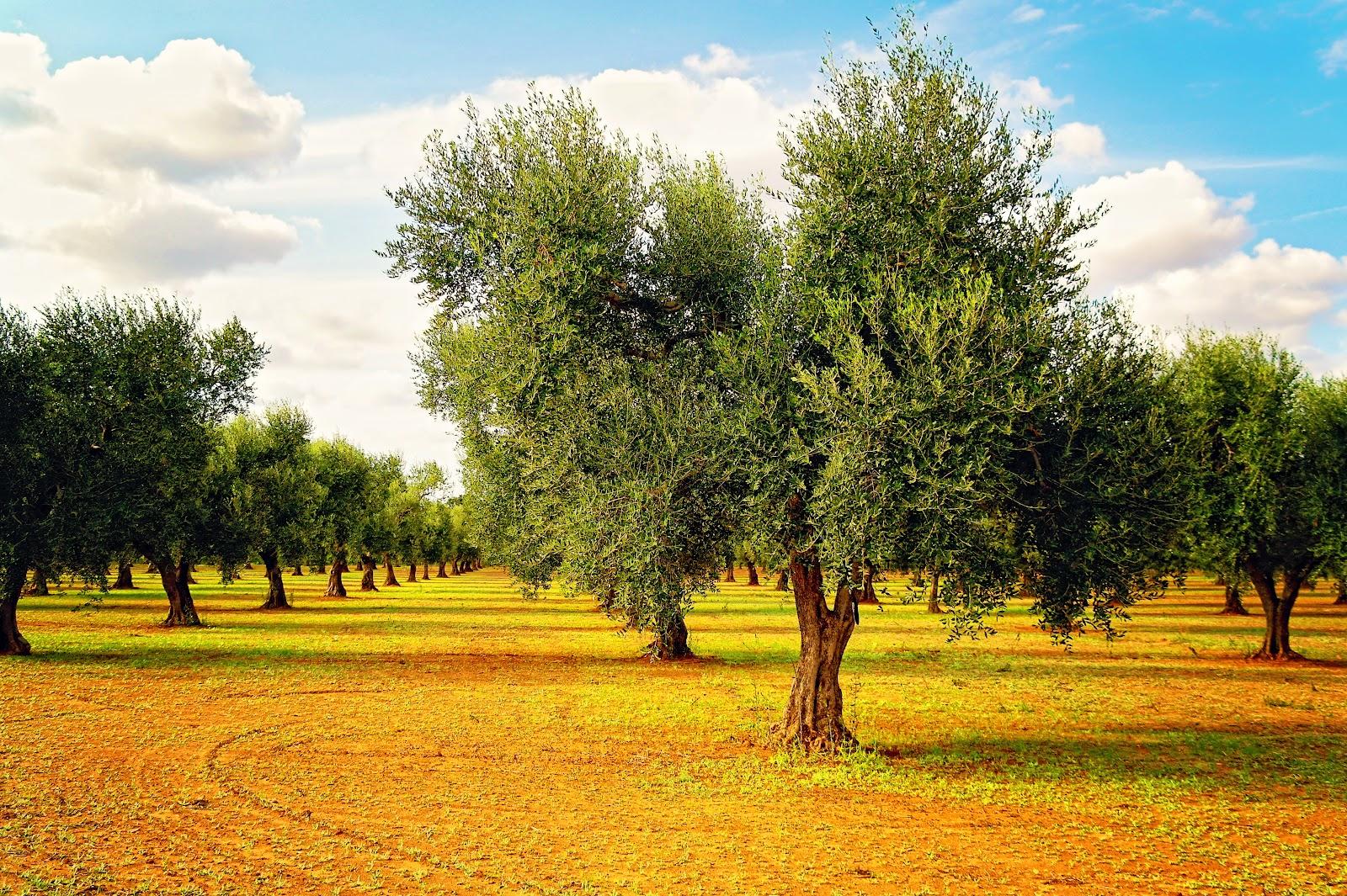 ulivi in campagna salentina